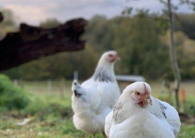 poules les vigeres Sanit Yrieix la Perche